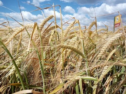 Ekipa Bc Hibridi proverila kako uspevaju pšenica, kukuruz, tritikala i ječmeni hibridi u Sremu
