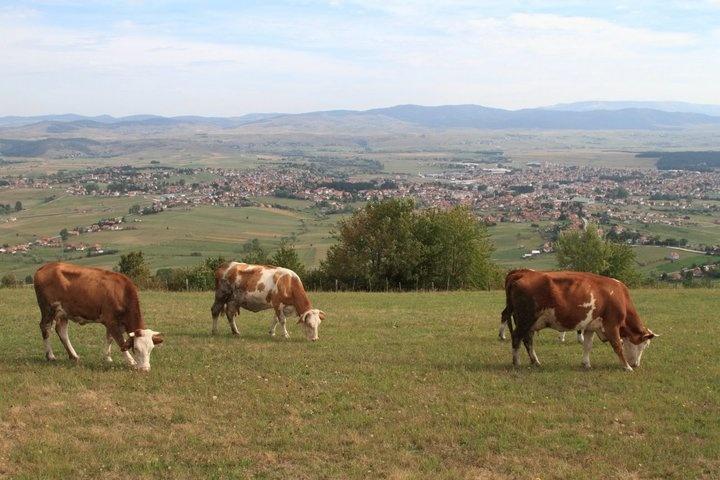 krave_na_ispasi_pesterska_visoravan_sjenica