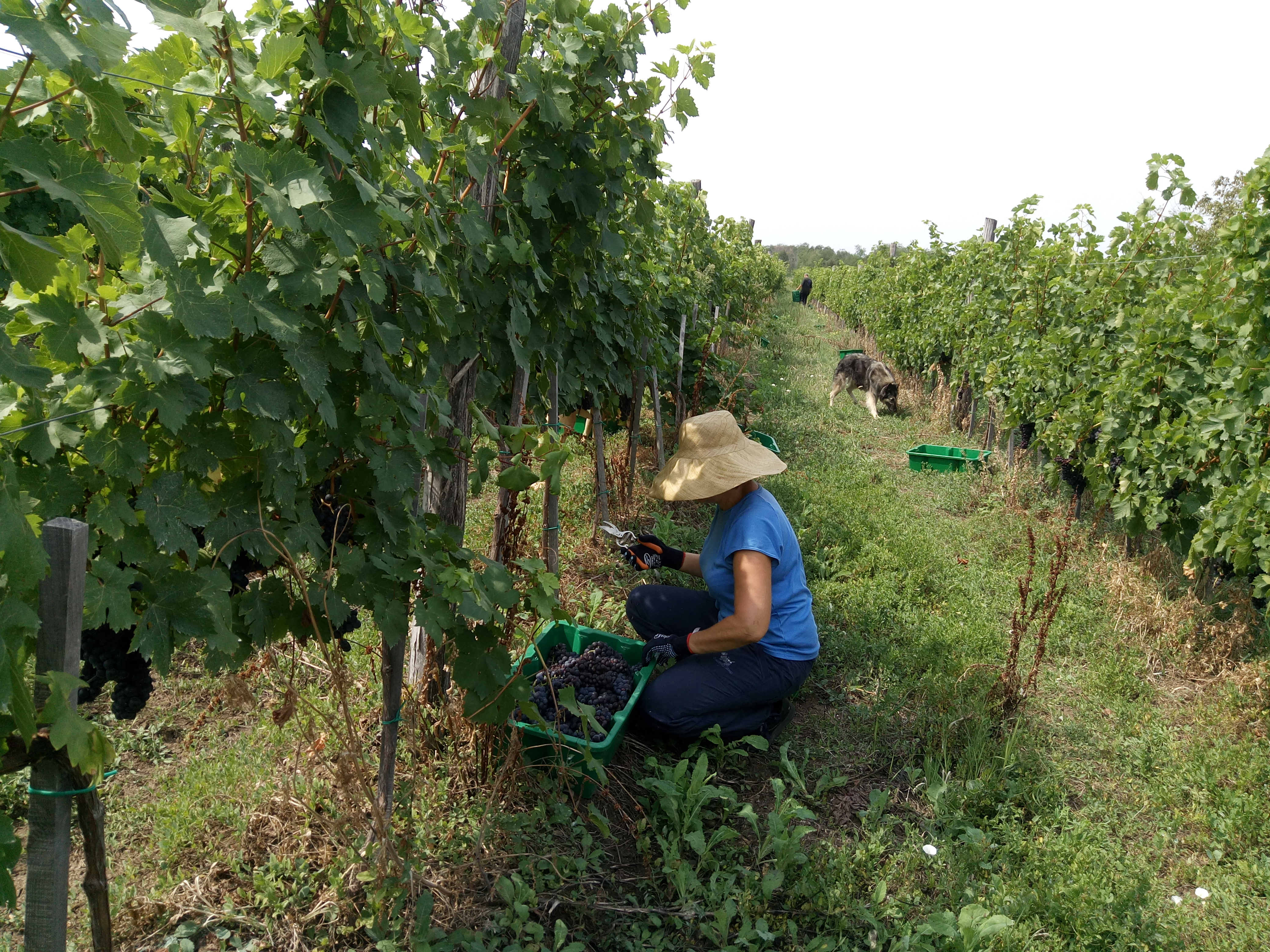 berba_grozdja_u_vinogradi_vinarije_raj