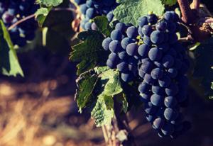 grozdje-prokupac-vinarija-doja