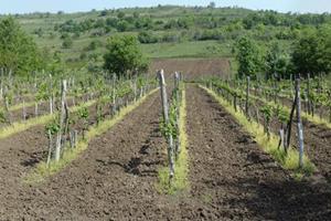 rajacki_vinogradi_vinarije_raj