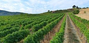 vinogradi_trstenickog_vinogorja_vinarija_milosavljevic_bucje_trstenik