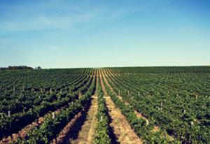 vinogradi-doja-prokupacko-vinogorje