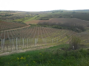vinogradi_na_obroncima_fruske_gore