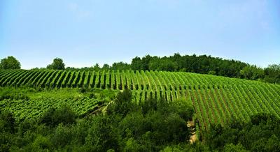 vinogradi_u_krnjevu_podrum_radovanovic